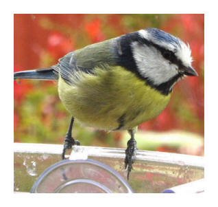 Starry Towers Blue Tit at the meal worm window feeder today