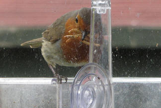our Robin eating Meal Worms