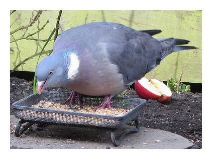 one of my Wood Pigeon pals