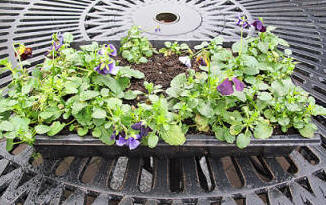 gift pansies left by mysterious stranger